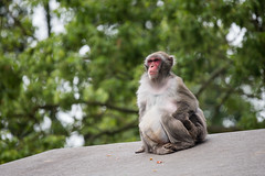 2016-06-11-13h31m43.BL7R9014 (A.J. Haverkamp) Tags: canonef100400mmf4556lisiiusmlens amsterdam zoo dierentuin httpwwwartisnl artis thenetherlands japansemakaak japanesemacaque