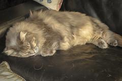 Merlin (cupra1) Tags: pets cat feline merlin pussycat