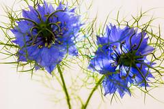 CORNFLOWER 02 (steve.healy35) Tags: cornflowers flowers studio fujixt1 tamron90mmmacro