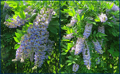 Wisteria 1 June 2016 9334-9340 (edgarandron - Busy!) Tags: flowers plants flower wisteria