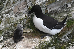 Proud Parent (Tim Melling) Tags: eastyorkshire bempton cliffs razorbill chick young alcatorda timmelling