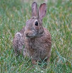 Bunno (Harry Lipson) Tags: wild cute rabbit bunny nose furry whiskers wabbit bunnyrabbit bunno harrylipsoniii harrylipson