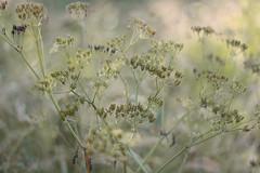 After blooming (mennomenno.) Tags: uitgebloeid afterblooming weed natuur