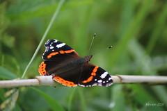 IMG_0295_kw - Atalanta - Vanessa atalanta (Monique van Gompel) Tags: butterfly aurelia atalanta vlinder vanessaatalanta dagvlinder