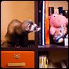 Damn, I need that hippo (Yiskaholina) Tags: toy ferret jessica furniture books bookshelf huron furet morfin librero