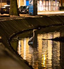 Nightlife (Gatria) Tags: light 3 reflection heron water netherlands canon grey high rotterdam mark iii low nederland iso ii l 5d 28 ef mk niederlande 70200mm reiher rotte 16000