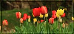 Tulipani... (Alessandro Zaccari) Tags: red flower primavera nature spring natura tulip fiore rosso tulipano ef24105 wonderfulworldofflowers 5dmarkii