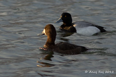 Lesser scaup (Aythya affinis) (powershotpix) Tags: ontario canada male water birds female duck pair ottawa parks ducks lesserscaup freshwater bluebill broadbill