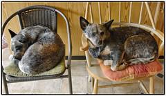 120425 standby girls (Karedogs) Tags: blue dog dogs nikon sweden australian hund sverige nikkor kina heeler 2012 1755 cattledogs hundar caisa höör surstubben karedogs dxo7