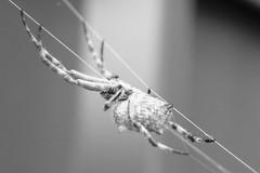 hangin upside down cr b&w (Axemaniac-Art) Tags: bw macro animal insect spider grandmother web thumbsup bigmomma herowinner axemaniac2012 axemaniacapril2012