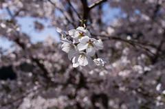 IMGP6863 (Amad) Tags: flower japan spring   sakura kiryu