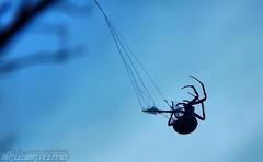 Black Widow (BRUJERIZZMO) Tags: black spider blackwidow araa widow negra viudanegra viuda
