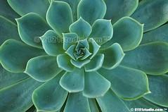 Cactus (2121studio) Tags: nature nikon ali malaysia indah cameronhighlands kuantan alam malaysianphotographer drali bohtea sgpalasteaplantation 2121studio kuantanphotographer pahangphotographer ciptaanallahswt 0139342121 nubleebinshamsubahar