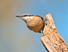 Nuthatch!! (marsch1962) Tags: bird nature wildlife nuthatch sittaeuropaea thewonderfulworldofbirds wonderfulworldofbirds nikontc20eiii nikon300mmf28vrii