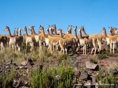 20120402-De Nazca a Puquio-2.jpg (Ignacio Martnez) Tags: cicloturismo peru animal desierto nazca vicua puquio pampagaleras