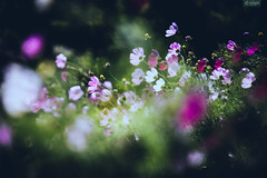 (d3sign) Tags: flower nature bokeh sony 7 cosmos nex bipinnatus nex7 sel18200