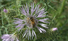 fiore spinoso (voyager7000) Tags: sardegna macro sardinia natura fiori prato insetti nuxis galactitestomentosa voyager7000
