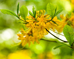 Azalea - Rhododendron 'Earl's Gold' (Diacritical) Tags: macro brooklyn iso800 rhododendron ericaceae azalea bbg brooklynbotanicgarden 2012 f50 sakuramatsuri 105mm brooklynbotanic 105mmf28 d700 nikond700 sec earlsgold