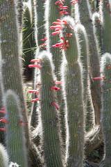 Cactus (mark6mauno) Tags: cactus plant garden coast nikon south botanic nikkor d4 southcoastbotanicgarden 105mmf28dmicro nikond4