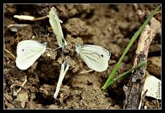 .. a chi tocca dare le carte ?!? .. (Shot__3335 F) (Ziozampi) Tags: primavera fauna canon eos italia campagna fav toscana animali farfalla 2012 insetti volatili eos450d 450d scopeto cameraeos imgdigitale 06giugno zinvpool