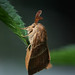 Fox Moth (Macrothylacia rubi)