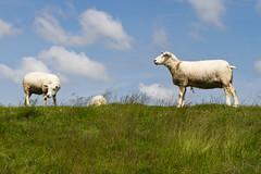Texel sheep (evb-photography) Tags: sheep dyke dijk dike texel schapen levee oudeschild texelaar highqualityanimals