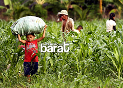 Kid Working In Cornfields of Madridejos (Biyaherong Barat) Tags: rural work island kid corn child labor philippines ngc cebu bantayan fields cornfields crops setting province madridejos