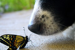 Gentle Giant (Bon_PainAuChocolat) Tags: dog black feet field butterfly nose colorful shadows legs whiskers curious depth