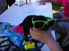 dog ontario canada sunglasses hamilton 2012 hamiltonpride