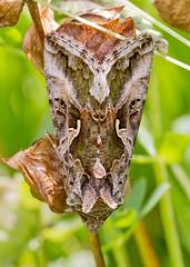 IMG_0155 Silver Y Moth (Autographa gamma), Shadowbrook Meadows, Warwickshire W T Reserve, 25 June 2012 (Lathers) Tags: warwickshire silverymoth autographagamma canon7d warwickshirewildlifetrust canonef100f28lisusm wkwt 25june12 shadowbrookmeadows