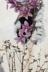 Magnolia (fromsunrisetosunset) Tags: flowers nature beautiful beauty canon 50mm bokeh magnolia canoneos600d