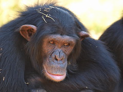 Charlene (PTroglodytes) Tags: africa chimp jane south eden chimpanzee sanctuary goodall