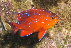Juvenile Garibaldi (Ed Bierman) Tags: scuba diving marinelife ncrd gaydiving
