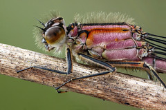 in the pink (Insect~O~Saurus) Tags: light portrait macro nature scotland natural naturallight handheld odonata bluetaileddamselfly mpe65mm ischnuraelegans tonemap zerene focusstacked canoneos500d july2012 iainlawrie recordr:determiner=iainlawrie recordr:species=ischnuraelegans recordr:count=2 recordr:gridref=nk03072828