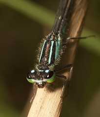 """Damselfly(5) • <a style=""""font-size:0.8em;"""" href=""""http://www.flickr.com/photos/57024565@N00/7661783448/"""" target=""""_blank"""">View on Flickr</a>"""