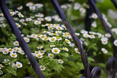 Rose Garden (anna.letoile) Tags: flowers flower rose canon 50mm little bokeh ii daisy f18 rosegarden ef canoneos550d