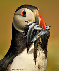 Puffin with Sandeels. (spw6156) Tags: copyright with steve  puffin waterhouse sandeels