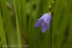 "Harebell • <a style=""font-size:0.8em;"" href=""http://www.flickr.com/photos/63501323@N07/7756386874/"" target=""_blank"">View on Flickr</a>"