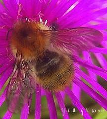 """abeille, pollen pollenisation, parc andr citron, miel, pollen, balade promenade randonne sortie marche nature trail round gone hiking walk cologie """"plein air"""" chemin sentier campagne champtre bucolique """"ceinture verte"""" """"bonne humeur"""" """"joie de vivre"""" (tamycoladelyves) Tags: cute nature ecology rural wonderful landscape countryside amazing nice fantastic natural hiking walk priceless awesome great super gone trail promenade round stunning excellent belle extraordinaire gr sortie lovely charming paysage goodmood campagne sentier marche beau magnifique chemin insolite beautifull bucolic delightful flore balade bello grp randonne trange faune pleinair cologie superbe bucolique oustanding joiedevivre dveloppementdurable pnr ravissant joyoflife parcnaturelrgional champtre surprenant bonnehumeur sentierpdestre ceintureverte chemindegranderandonne carnetderandonne"""