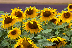 Sad Sunflowers :-( (Helen Flynn) Tags: canon d sunflowers 50 hertfordshire select hitchinlavender cadwellfarm