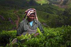 Tea Picker Woman 3