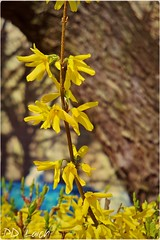 Early Spring (MissyPenny) Tags: flower yellow spring explore forsythia southeasternpa