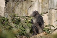 Nachdenklich (MU-TH-R182) Tags: berlin deutschland zoo affe denker schimpanse nachdenklich drausen