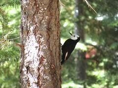 White-headed woodpecker (audrey.weichert) Tags: birds birding tahoe
