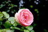 Rosa Pierre de Ronsard (elisabetta2005) Tags: rosa pierrederonsard
