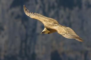 Gyps fulvus - Grifone - griffon vulture
