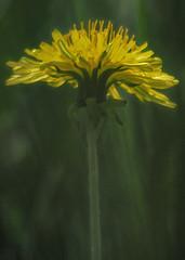 roar (Hal Halli) Tags: wild yellow spring spirit dandelion wildflower autofocus