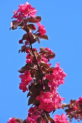 pink & blue :) (green_lover) Tags: pink flowers blue sky nature spring branch blossom
