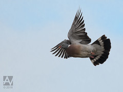 pigeon in flight (Arend Vermazeren) Tags: bird pigeon duif woodpigeon commonwoodpigeon houtduif