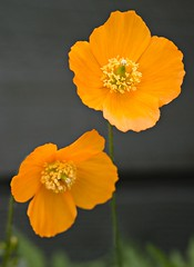 Poppies (lonny58) Tags: orrange
